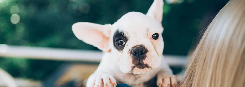 Homepage-slider-puppy-french-bulldog (1)