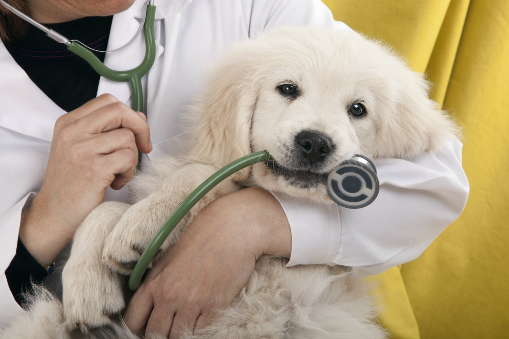 Veterinarian holding a puppy biting a stethoscope